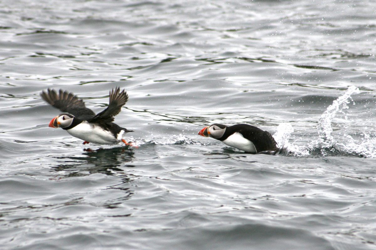 puffin-tour-iceland